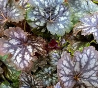 Marvelous Marble Heuchera Picture