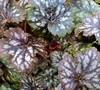 Marvelous Marble Heuchera