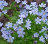 Forget Me Not Ultramarine