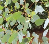 Eucalyptus Camphora 'Lucky Country' Picture