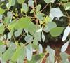 Eucalyptus Camphora 'Lucky Country'