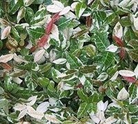 Jasmine Asiatic Variegated Picture