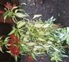 Rock & Roll Peruvian Lily
