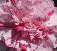 Dianthus Devon Cottage™ Pinball Wizard Picture