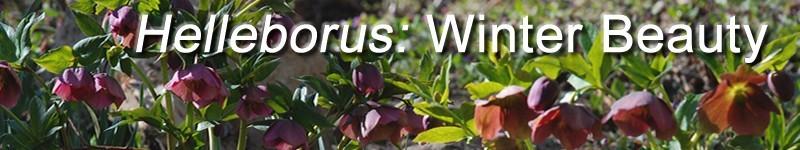 Helleborus: Lenten Rose