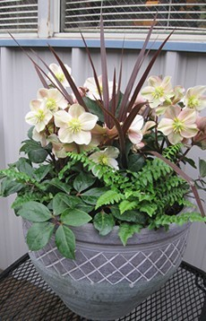 Container Garden with Helleborus
