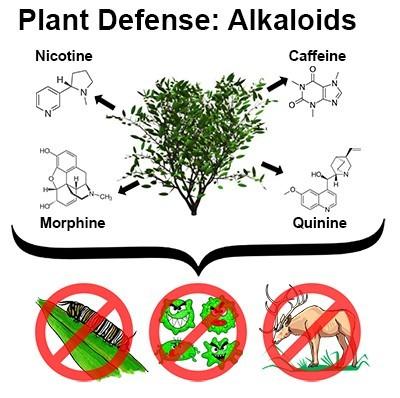 Plant Defense: Alkaloids