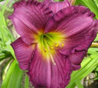 Purple De Oro Daylily Picture