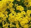 Alyssum Wulfenianum 'Golden Spring'