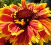 Gaillardia Realflor ® 'Sunset Cutie' - Blanket Flower