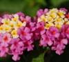 Verbenaceae Lantana Chapel Hill Pink Huff Lantana