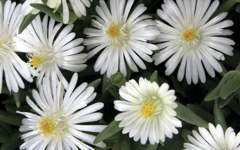 Delosperma Jewel Of Desert - Moonstone Picture