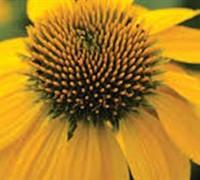 Echinacea Sombrero ® 'Lemon Yellow' Pp#24768 - Coneflower Picture