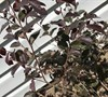 Picture about Red Diamond Compact Loropetalum Has Holes In Leaves