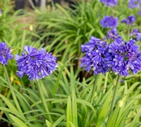 Agapanthus Ever Midnight Picture