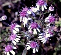Symphyotrichum Lat. 'Lady In Black' - Calico Aster Picture