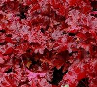 Heuchera 'Forever Red' Ppaf Picture