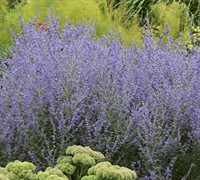 Perovskia 'Rocketman' Pp#27526 - Russian Sage Picture