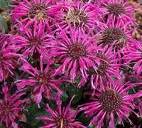 Monarda Didyma Balmy™ 'Purple' Pp#25516 - Bee Balm Picture