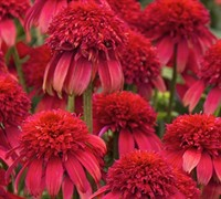 Echinacea Double Scoop Tm 'Cranberry' Pp#24769 - Coneflower Picture