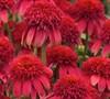 Echinacea Double Scoop Tm 'Cranberry' Pp#24769 - Coneflower