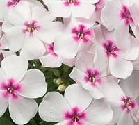 Phlox Paniculata 'Flame White Eye' Pp#22211 - Dwarf Garden Phlox Picture