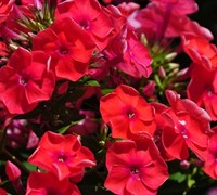 Phlox Paniculata 'Flame Red' Ppaf - Dwarf Garden Phlox Picture