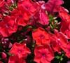 Phlox Paniculata 'Flame Red' Ppaf - Dwarf Garden Phlox