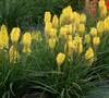 Kniphofia Uvaria Poco Tm 'Yellow' Pp#27616