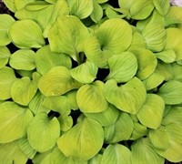 Hosta 'Sun Mouse' Ppaf - Plantain Lily Picture