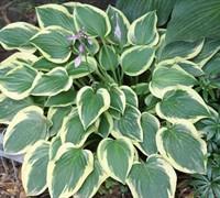 Hosta 'Pilgrim' - Plantain Lily Picture