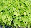 Heucherella Happy Hour 'Lime' Ppaf - Foamy Bells (Terra Nova)