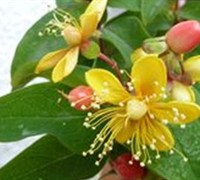 Herbs - Hypericum Hypearl 'Compact Red' - St. John's Wort Picture