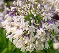 Agapanthus Ever Twilight Picture