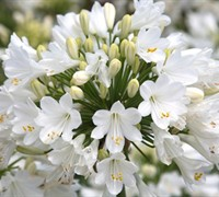 Agapanthus Ever White Picture