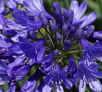 Agapanthus Blue Fountain Picture