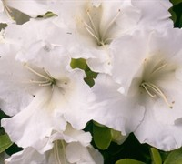 Girard's Pleasant White Evergreen Azalea Picture