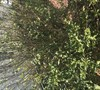 Picture about Osmanthus San Jose Trees Dying Need Help