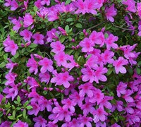 Purple Formosa Azalea Picture
