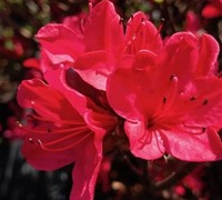 Azalea Hino Crimson Picture