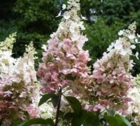 Pinky Winky Hydrangea Picture