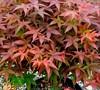 Rhode Island Red Dwarf Japanese Maple