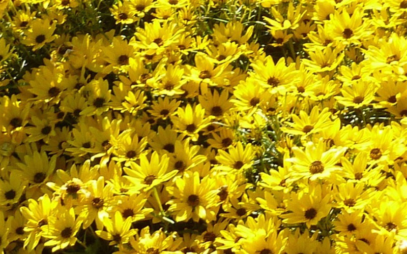 Helianthus Salicifolius Autumn Gold - Willow Leaf Sunflower Picture