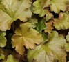 Heuchera Carnival Tm 'Coffee Bean' Pp#24943 - Coral Bells (Darwin)