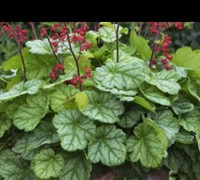 Heuchera Dolce Tm 'Appletini' Pp#29396 Proven Winners - Coral Bells Picture