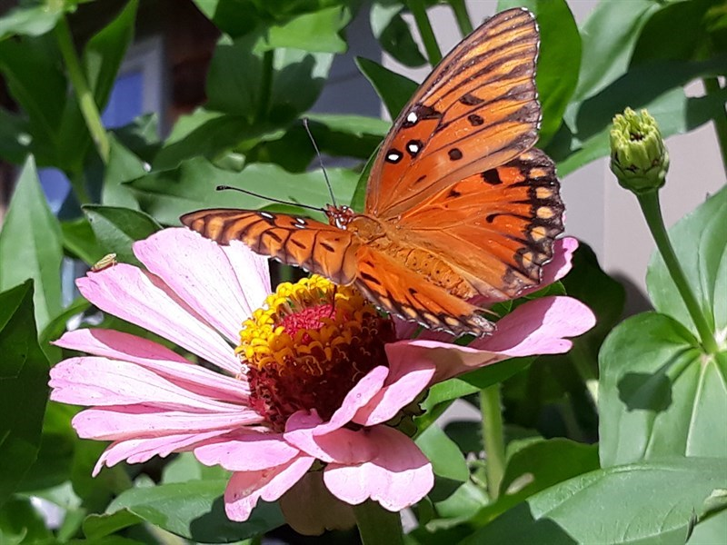 Butterfly-On-A-Zinnia-From-Nikki's-Garden