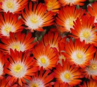 Delosperma Hot Cakes® 'Pumpkin Perfection' Ppaf Picture