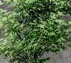 Murasaki Kiyohime Japanese Maple