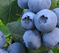 Bless Your Heart Blueberry Picture