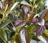Coppertop® Sweet Viburnum